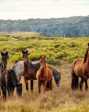 Six hores grazing in a pasture